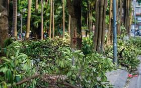 """Hà Nội: Chuyển 100 cây hoa sữa từ hồ Tây lên bãi rác Nam Sơn để """"khử"""" mùi rác, """"giải thoát"""" mùi hoa cho người dân"""