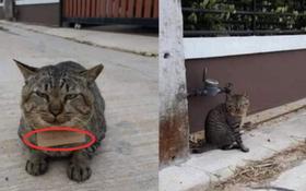 """Góc """"con dại cái mang"""": Chú mèo bỏ nhà đi bụi 3 ngày, khi trở về mang theo món nợ khiến chủ nhân dở khóc dở cười"""