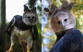 Loài chim đại bàng to như thần điêu của Dương Quá, biểu cảm gương mặt đa dạng đến dáng vẻ hóng hớt cũng gây cười