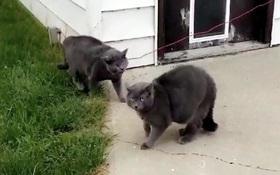 """Chú mèo Loki biết """"phân thân chi thuật"""", khiến chủ nhân hết hồn với màn lừa đảo ngoạn mục"""
