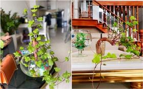 Nghiện decor mà không có tiền, đu ngay trend trồng khoai lang cực ngon - bổ - rẻ