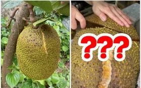 Nhà trồng được cây mít bé tí nhưng cho quả nặng gần 15kg, cô gái quyết định xẻ ra rồi làm một việc cực ý nghĩa này
