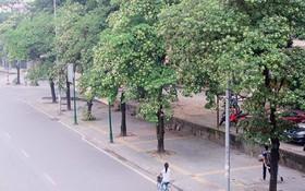 Những loài cây chỉ nhắc tên là nhớ ngay đến Hà Nội