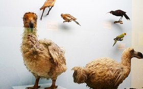 Những loài vật tuyệt chủng do bàn tay con người