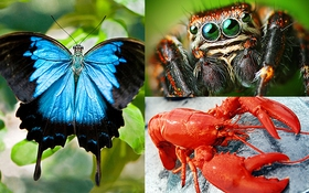 Phát hiện mới: tôm hùm, bướm và nhện có chung tổ tiên với nhau