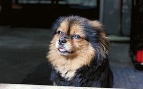 Tài Hỷ - chú chó nhịn ăn 16 ngày cho đến chết vì nhớ chủ