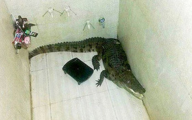 Giật mình cá sấu đi lạc rồi đột nhập vào phòng tắm