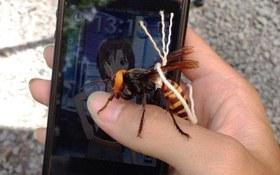 Chọn ong khổng lồ để huấn luyện làm thú cưng