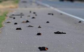 Hàng nghìn chú chim đen tự dưng... lăn ra chết