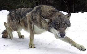 Nga: Người phụ nữ bị chó sói ăn thịt ngay gần nhà