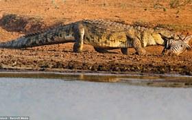 Rùng mình với cảnh tượng cá sấu ngoạm đầu ngựa vằn đi lang thang