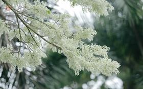 Hoa sưa trắng ủ đầy tình tháng Ba