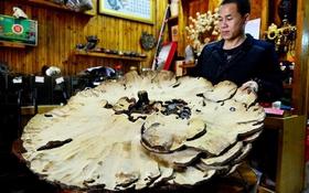 Nấm khổng lồ nặng 7,4kg, có đường kính hơn 1m