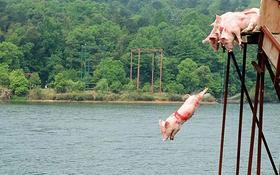 Cuộc thi nhảy cầu và bơi lội chuyên nghiệp dành cho các vận động viên lợn