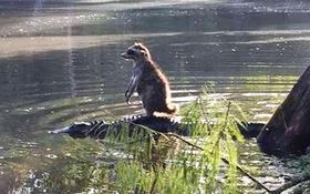 Chồn hương ung dung cưỡi trên lưng cá sấu vượt sông