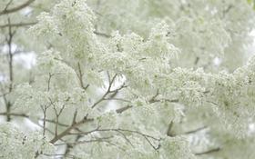 """Chùm ảnh: Đẹp ngỡ ngàng mùa hoa sưa """"phủ tuyết"""" trên phố Hà Nội"""