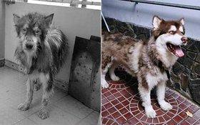 Hành trình lột xác của chú chó Alaska từng bị chủ ngược đãi thê thảm