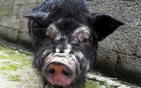 """Trung Quốc: Phát hiện lợn xấu như """"quỷ"""""""