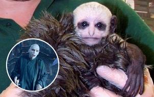 Khỉ con có khuôn mặt giống chúa tể Voldemort