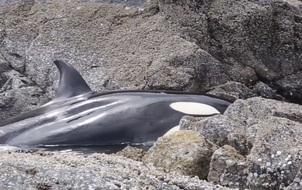 Một chú cá voi khóc vì bị mắc cạn, nhưng những gì mà nhóm người này đã làm sẽ khiến bạn lặng người...