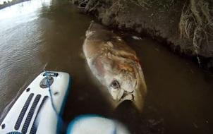 Tìm thấy siêu cá ngừ khổng lồ to bằng một con bò