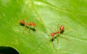 Anh: Phát hiện ra loài kiến có thể gây cháy nhà