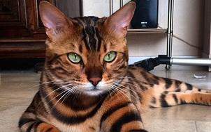 Chân dung chú mèo hổ báo nổi tiếng giang hồ năm 2016