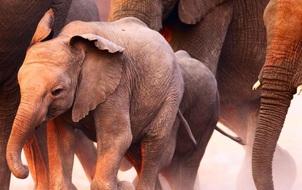 Có một nơi trên thế giới nhiều voi đến mức phải chuyển đi bớt
