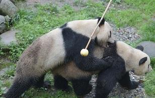 Đây là cách mà bạn không thể ngờ tới để giúp gấu trúc giao phối