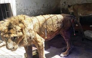 Cơ thể tàn tạ chỉ còn da bọc xương của chú sư tử cô đơn nhất hành tinh