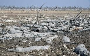 Hạn hán nghiêm trọng, hàng trăm con cá sấu chết khô trong đầm lầy cạn nước
