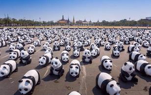 Tập đoàn 1.600 chú gấu trúc đổ bộ vào Thái Lan khiến người dân đứng ngồi không yên