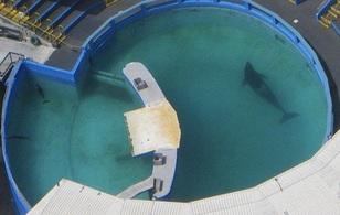 Câu chuyện buồn về con cá voi cô đơn nhất nước Mỹ