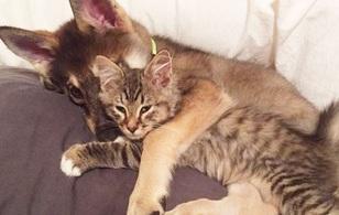Chú chó Husky đích thân lựa chọn nàng mèo của đời mình