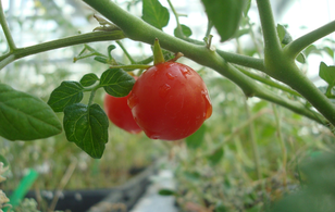 Tương lai sao Hỏa sẽ ngập tràn... cà chua và lúa mạch đen