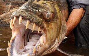 Loài họ hàng ăn thịt người kinh khủng hơn cả cá Piranha