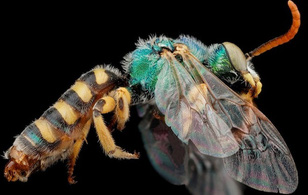 Màu sắc sặc sỡ của các loài ong