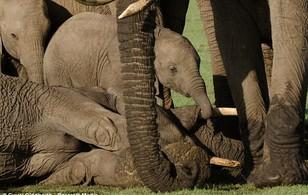 Giây phút xúc động voi con buồn bã, khóc ròng bên xác voi mẹ