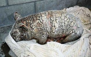 Cô lợn cảnh bị bỏ rơi cho tới chết vì mắc bệnh ghẻ lở nặng, 2 tháng sau nó đã hồi phục thần kỳ