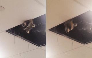 Chú gấu mèo mặt hớn thập thò trên trần sân bay