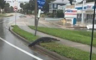 Tránh lũ, cá sấu dạt vào khu dân cư hồn nhiên đi lại như đường nhà mình xây