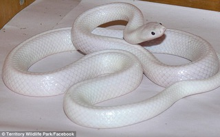 Tìm thấy cá thể rắn bạch tạng đầu tiên trên thế giới
