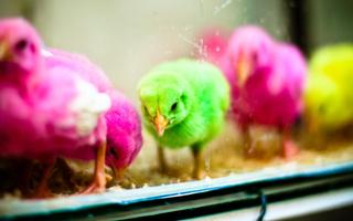 Sự thật kinh hoàng đằng sau những chú gà con sở hữu màu lông 7 sắc cầu vồng