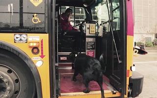Cô chó khôn như rận ngày nào cũng tự bắt xe bus đi lêu hêu