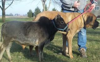 Tìm thấy giống bò mini đáng yêu chỉ bé bằng một chú chó