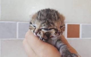 Chú mèo có tới hai khuôn mặt cùng mọc trên một đầu duy nhất