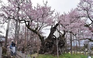 Xem tận mắt cây anh đào được chính phủ Nhật xếp vào hàng báu vật quốc gia