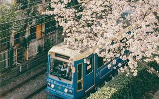 Cuộc sống, cái chết và sự tái sinh - triết lý gói gọn trong một đóa hoa Sakura