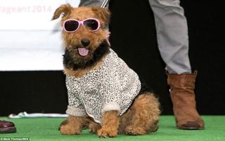 """Các """"người mẫu"""" chó sành điệu trong show thời trang thường niên"""