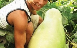 Một quả bầu khổng lồ nặng tới 35kg ở Ninh Thuận